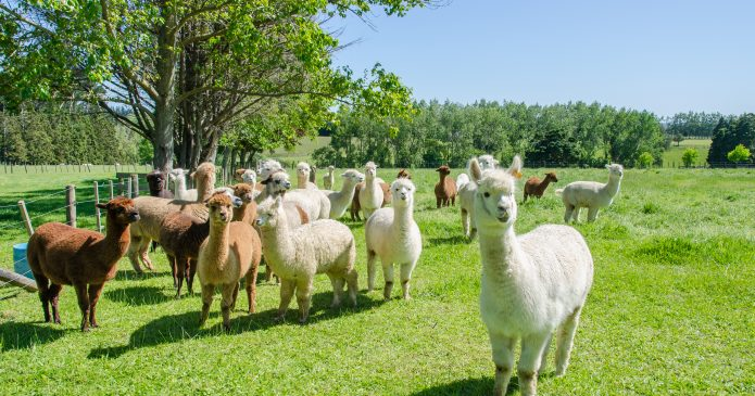 Alpacas in a farm of New Zealand.